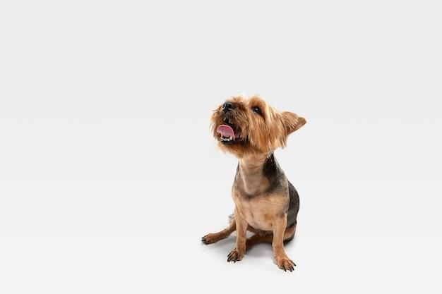 Zainteresowany. pies yorkshire terrier pozuje. śliczny figlarny brązowy czarny piesek lub zwierzak grający na tle białego studia. pojęcie ruchu, akcji, ruchu, miłości do zwierząt domowych. wygląda na szczęśliwego, zachwyconego, zabawnego.