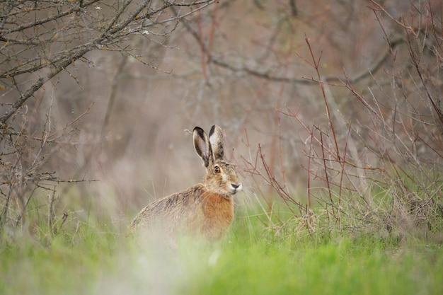 Zając stoi w trawie. lepus europaeus.