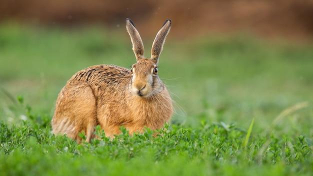 Zając szarak patrzy z pola koniczyny w wiosennej przyrodzie