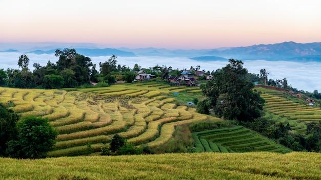 Zakaz pa bong piang tarasowaci ryżowi pola z mgłą przy chiang mai, tajlandia