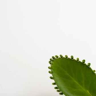 Zakończenie aloesu vera liść z kopii przestrzenią