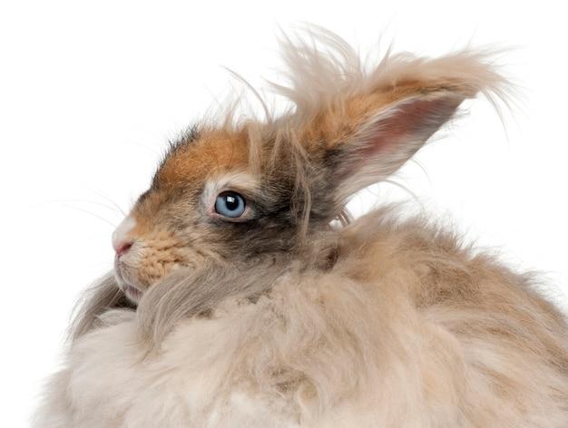 Zakończenie angielski angorski królik przed białym tłem