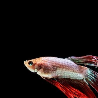 Zakończenie betta ryba z kopii przestrzenią