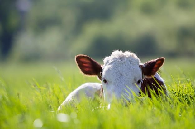 Zakończenie biała i brown łydka kłaść w zieleni polu zaświecał słońcem z świeżą wiosny trawą na zieleni zamazanej naturze. koncepcja hodowli, hodowli, produkcji mleka i mięsa.