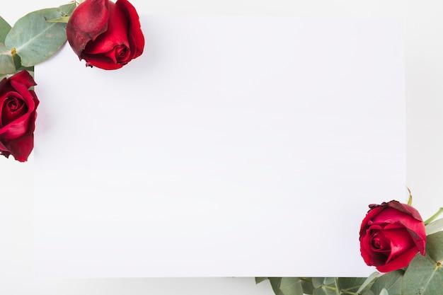 Zakończenie biały pusty papier z czerwonych róż kwitnie