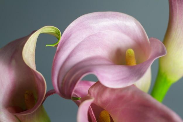 Zakończenie bukiet różowy kalii leluje, powitania lub prezenta pojęcie