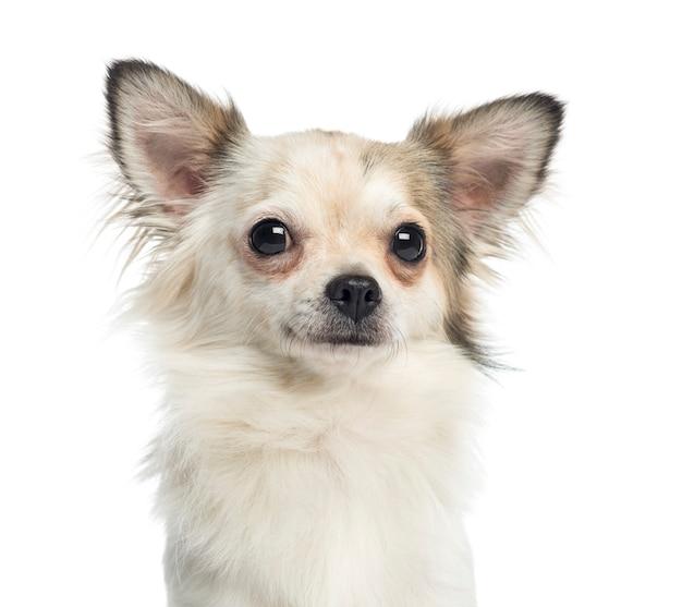Zakończenie chihuahua, 1 roczniak, odizolowywający na bielu