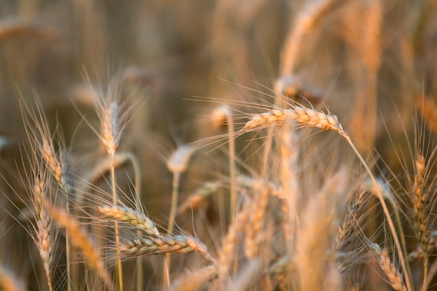 Zakończenie ciepłe barwione złote żółte dojrzałe skupiać się banatki głowy na pogodnym letnim dniu na miękkim zamazanym mgłowym łąkowym pszenicznym polu jasnobrązowym. koncepcja rolnictwa, rolnictwa i bogatych zbiorów.