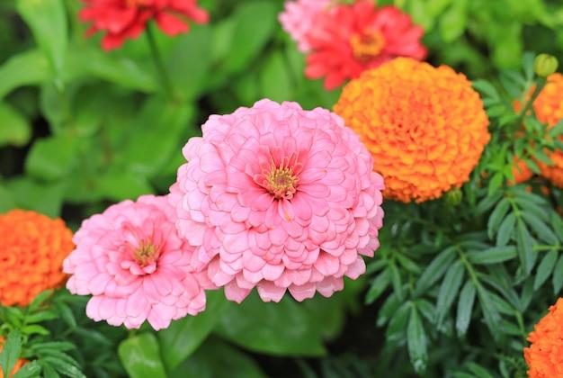 Zakończenie cyni kwiat w ogródzie.