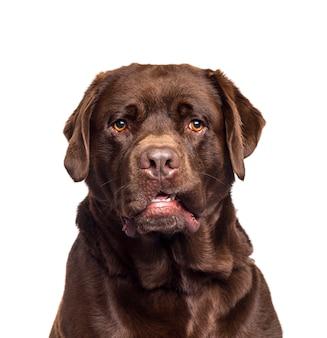 Zakończenie czekoladowy labrador retriever pies
