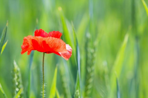 Zakończenie czuły kwitnienie zaświecał lata słońca jeden czerwonym dzikim makowym kwiatem na wysokim trzonie na zamazanym jaskrawym - zielony bokeh lato. piękno i czułość koncepcji natury.