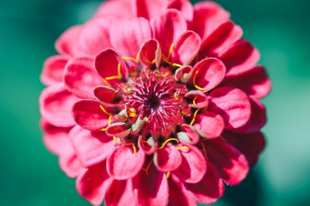 Zakończenie dalia czerwonego kwiatu makro- wybrana ostrość