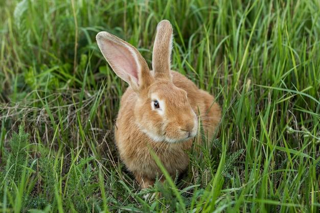 Zakończenie dojrzały królik w trawie przy gospodarstwem rolnym