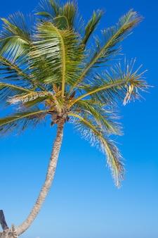 Zakończenie duży drzewko palmowe na tła niebieskim niebie