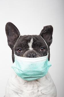 Zakończenie francuski buldog z medyczną maską odizolowywającą na białym tle. koncepcja koronawirusa