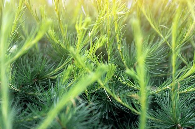 Zakończenie jaskrawo - zielona młoda świerczyna up rozgałęzia się na zielonym zamazanym tle
