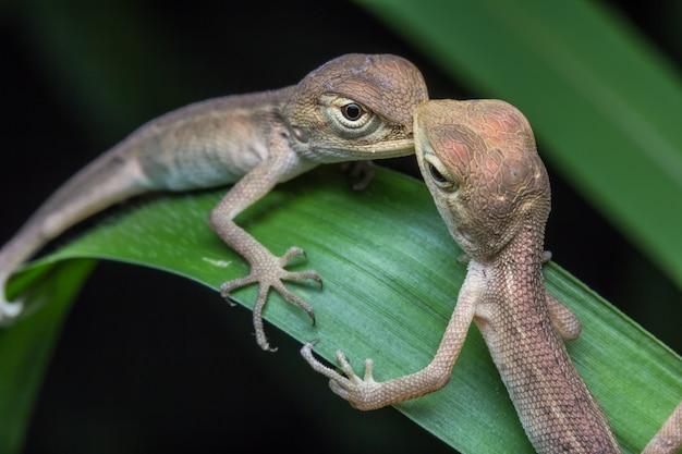 Zakończenie kameleon w tajlandia