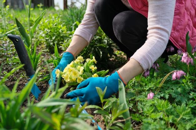 Zakończenie kobiet ręki zasadza żółtego pierwiosnku kwiaty w ogródzie