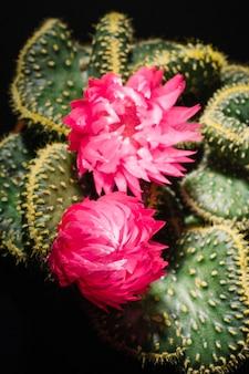 Zakończenie kwitnący kaktus