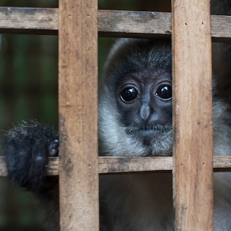 Zakończenie langur w zoo, tad denna siklawa, luang prabang, laos