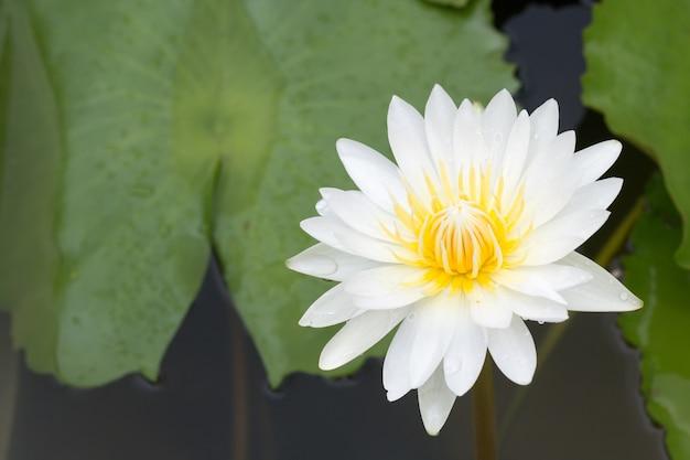 Zakończenie lotosowy kwiat, piękny lotosowy kwiat zamazuje lub zamazuje miękką ostrość