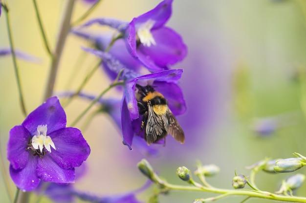 Zakończenie mamrocze pszczoły na purpurach up kwitnie