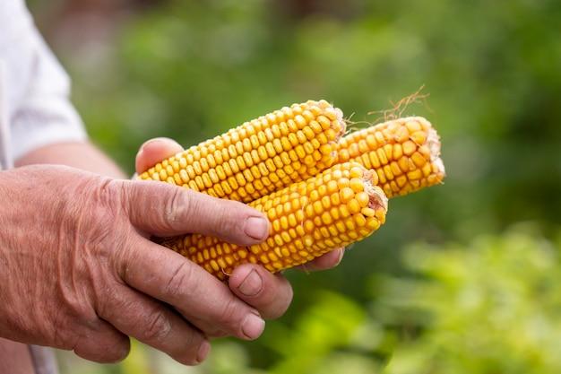 Zakończenie mężczyzna trzyma organicznie kukurudzy