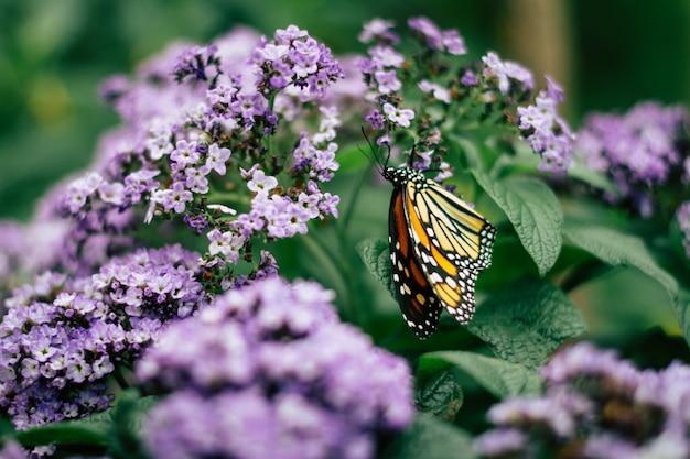 Zakończenie monarchiczny motyl na fiołka ogródzie up kwitnie