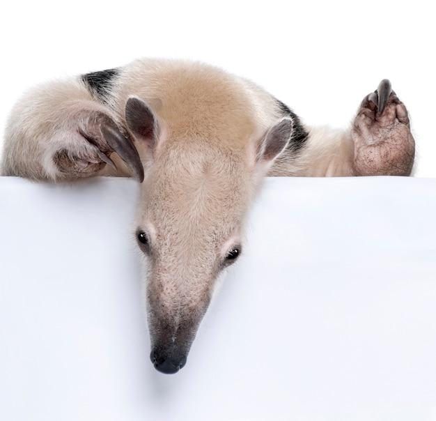 Zakończenie na kołnierzastym anteater patrzeje w dół - tamandua tetradactyla na bielu odizolowywającym
