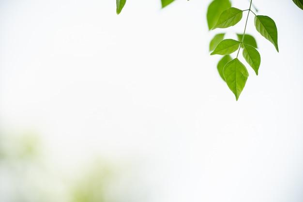 Zakończenie natura widoku zieleni liść na białym niebie i zamazany zieleni tle pod światłem słonecznym z bokeh i kopii przestrzenią up używać jako tło naturalnych roślin krajobraz