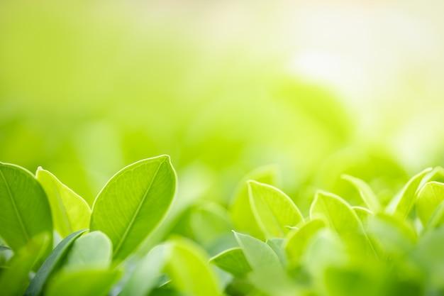Zakończenie natura widoku zieleni liść na zamazanym zieleni tle pod światłem słonecznym z bokeh up i kopii astronautyczny używać jako tło naturalnych roślin krajobraz