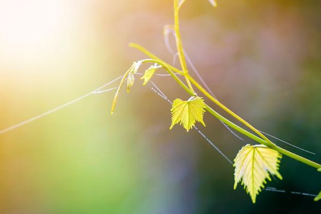 Zakończenie odosobniona czuła rocznik gałązki flanca z pająk siecią na zielonych liściach na jaskrawym pogodnym kopii przestrzeni tle. motyw pocztówki, koncepcja piękna natury.