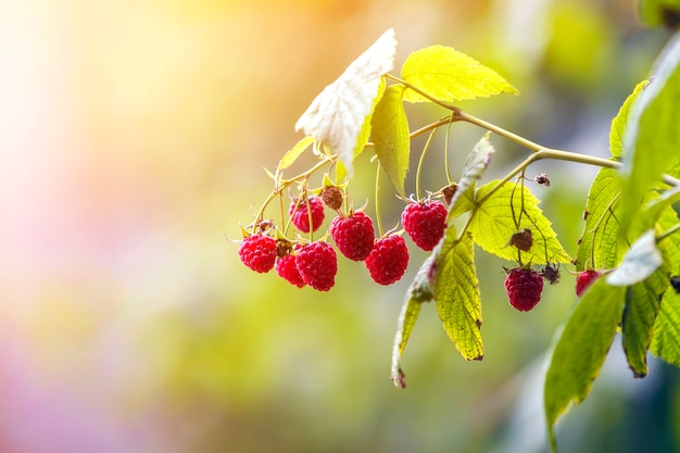 Zakończenie odosobniony zaświecający lata słońca dorośnięcia gałąź piękne dojrzałe czerwone soczyste malinki z świeżymi zielonymi liśćmi na jaskrawym świetle zamazywał przestrzeń. rolnictwo, hodowla, zdrowa żywność.