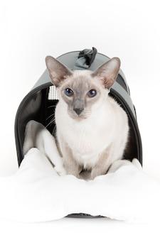 Zakończenie orientalny shorthair kot na bielu
