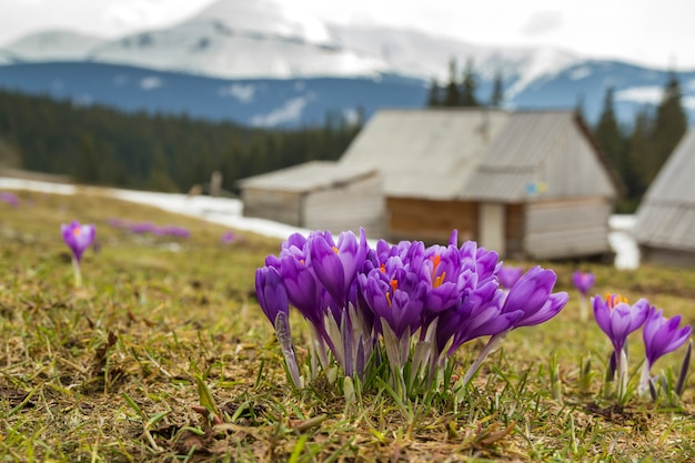 Zakończenie piękni pierwszy wiosenni kwiaty, fiołkowi krokusy kwitnie w karpackich górach na jaskrawym wiosna ranku na zamazanym pogodnym złotym tle. koncepcja ochrony przyrody.