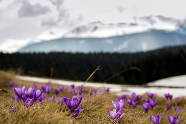 Zakończenie piękni pierwszy wiosna kwiaty, fiołkowi krokusy kwitnie w karpackich górach na jaskrawym wiosna ranku na zamazanej pogodnej złotej ochronie natury pojęcie.