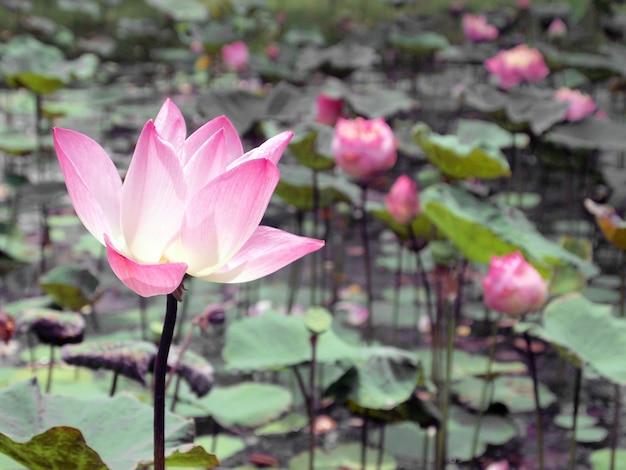 Zakończenie piękny różowy lotos