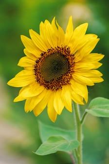 Zakończenie piękny słonecznik i pszczoła w polu