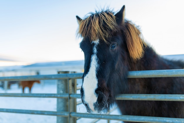 Zakończenie portret islandzki koń w drewnianym padoku na gospodarstwie rolnym w zimie