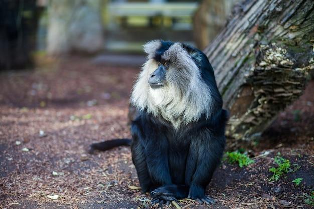 Zakończenie portret wanderu makaka małpy obsiadanie na ziemi przy zoo