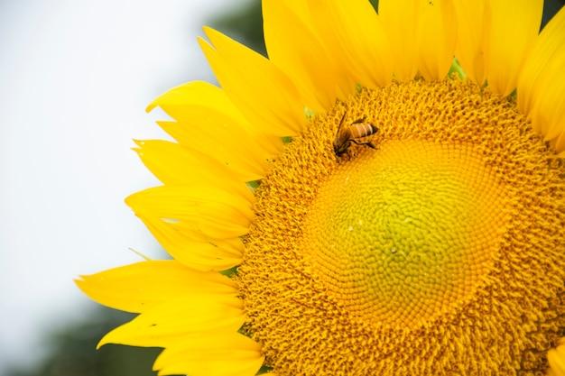 Zakończenie pszczoły obwieszenie na słoneczniku. jedzą wodę z pyłków słonecznika.