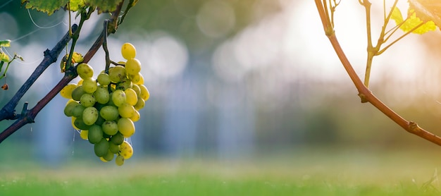Zakończenie rosnące młode winograd rośliny wiązać metal rama z zielonymi liśćmi i duży złoty żółty żółty dojrzały winogrono gromadzi się na zamazanym pogodnym kolorowym bokeh.