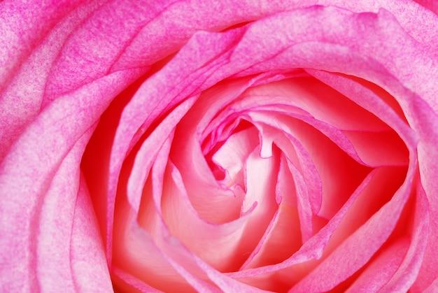 Zakończenie różowa róża