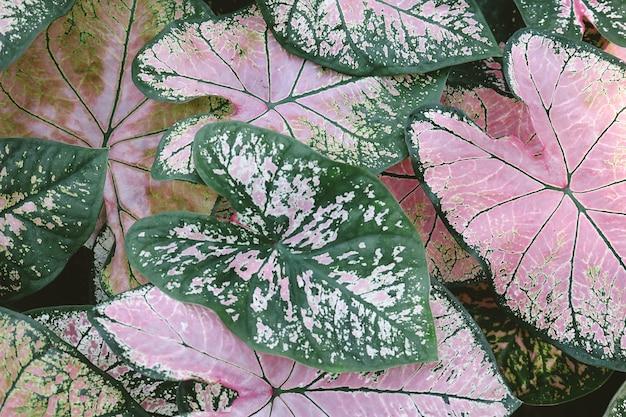 Zakończenie różowe i zielone caladium rośliny