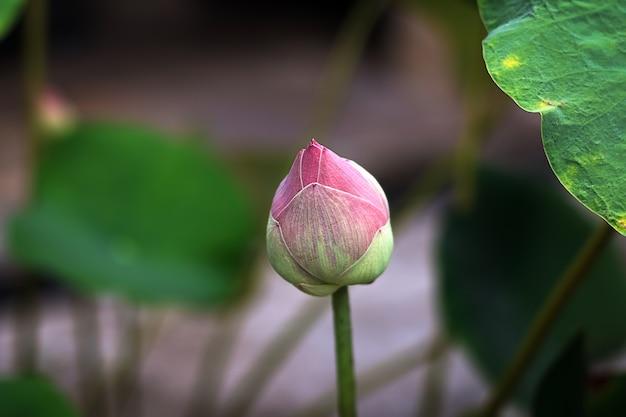 Zakończenie różowy płatka lotos, wodna leluja lub zieleni lotosowi liście unosi się na staw wodzie i