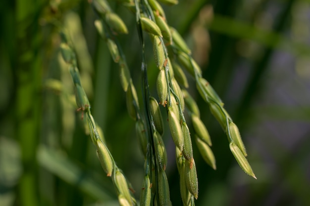 Zakończenie ryżowi ziarna w ryżowych polach