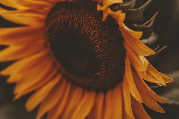 Zakończenie słonecznik w kwiacie