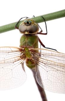 Zakończenie stary cesarza dragonfly, anax imperator na ostrzu trawa