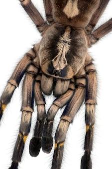 Zakończenie tarantula pająk, poecilotheria metallica przed białym tłem ,.