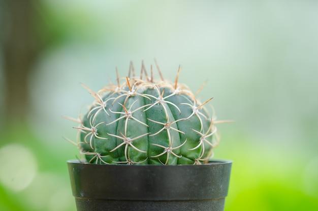 Zakończenie thor mini kaktus z makro- i wybraną ostrością